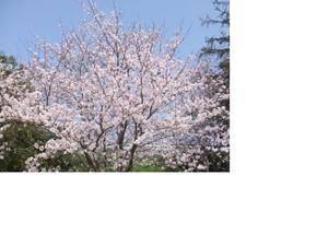 Sakura_006