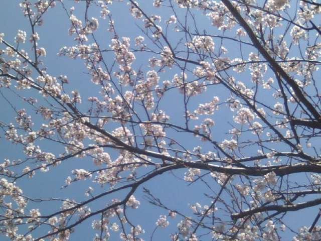 桜、そして鯉のぼり!?